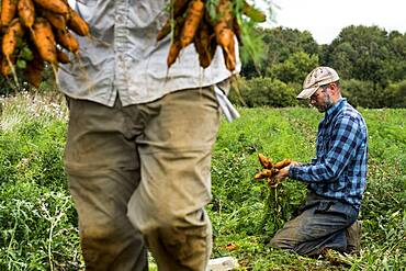Two farmers in a field, holding bunches of freshly picked carrots.