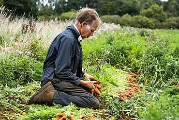 Farmer holding bunch of freshly picked carrots.