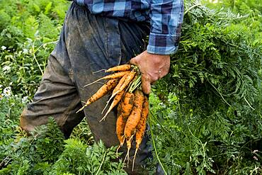 Farmer standing in a field, holding freshly picked carrots.