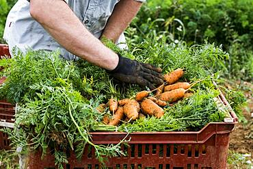 Farmer packing bunches of freshly picked carrots into crates.