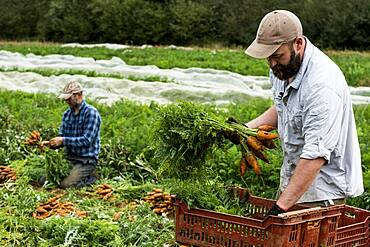 Two farmers holding bunches of freshly picked carrots.