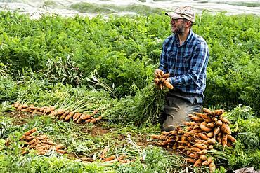 Farmer in field holding bunch of freshly picked carrots.