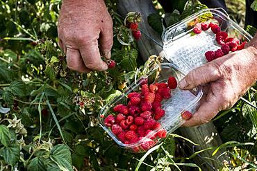Farmer holding punnet of freshly picked raspberries.