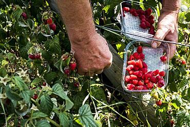 Farmer standing in a field, holding punnet of freshly picked raspberries.