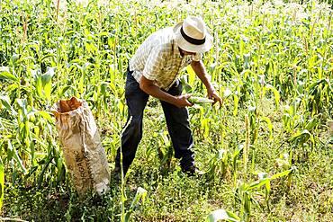Farmer picking fresh sweetcorn crop