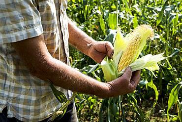 Farmer holding freshly picked sweetcorn.