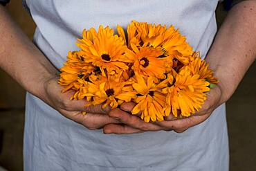 Close up of person holding bunch of edible orange Calendulas.