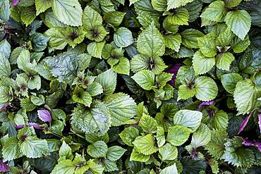 High angle close up of green and purple mint.