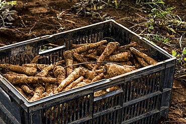 High angle close up of crate of freshly picked parsnips.