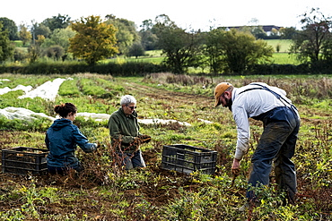 Three farmers standing and kneeling in a field, harvesting parsnips.