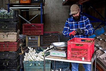 Farmer in a barn weighing and packing leeks and root vegetables.