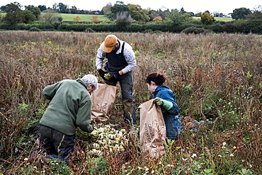 Three farmers standing and kneeling in a field, harvesting gourds.