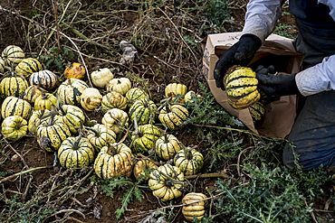Farmer kneeling in a field, packing freshly picked gourds into paper bag.