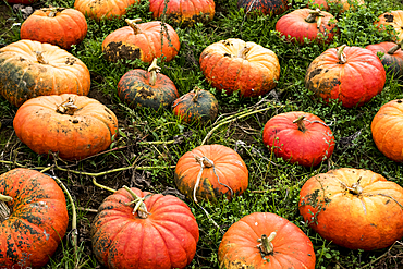 High angle view of freshly picked pumpkins in a field.