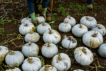 High angle view of freshly picked white gourds in a field.