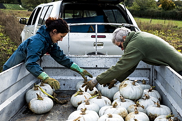 Two farmers loading freshly picked white gourds onto a truck.