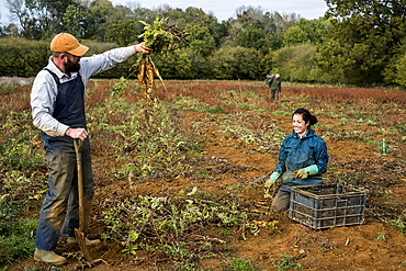 Two farmers standing and kneeling in a field, harvesting parsnips.