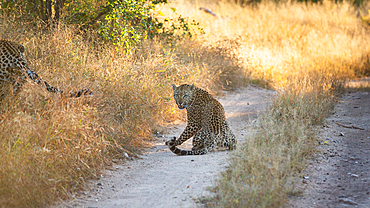 A leopard, Panthera leo, on a dirt road, turns and snarls, Londolozi Game Reserve, South Africa