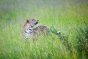 A leopard, Panthera pardus, stands in tall green grass, looking up, Londolozi Game Reserve, South Africa