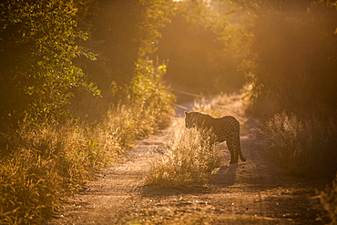 A leopard, Panthera pardus, stands in a two track dirt road, backlit, at sunset, Londolozi Game Reserve, South Africa