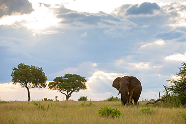 An elephant, Loxodonta africana, walks through a grassy clearing, clouds in background, Londolozi Game Reserve, South Africa