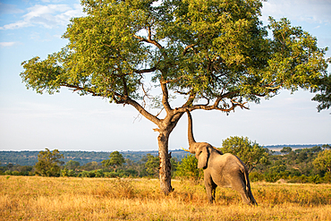 An elephant, Loxodonta africana, raises its trunk to a branch in a tree, Londolozi Game Reserve, South Africa