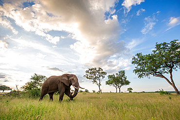 An elephant, Loxodonta africana, walks through a clearing, clouds in background, Londolozi Game Reserve, South Africa