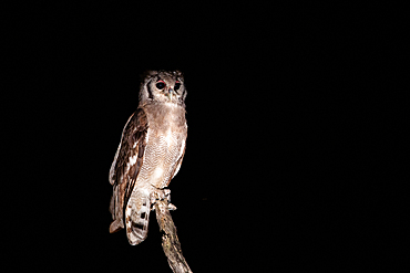 A verreaux eagle owl, Bubo lacteus, stands on a dead tree, at night, Londolozi Game Reserve, South Africa