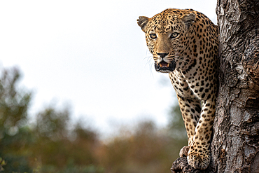A male leopard, Panthera pardus, stands in a tree, direct gaze, mouth open, Londolozi Game Reserve, South Africa