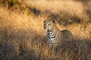 A leopard, Panthera pardus, stands in tall dry grass, gazing out of frame, Londolozi Game Reserve, South Africa