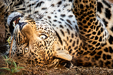 A leopard, Panthera pardus, rolls onto its back and bites a stick, direct gaze, Londolozi Game Reserve, South Africa