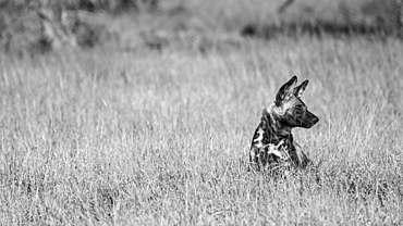 A wild dog, Lycaon pictus, sits in long grass and looks out of frame, black and white, Londolozi Game Reserve, South Africa