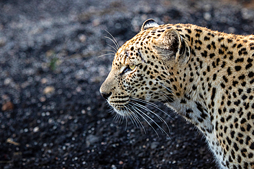 The side profile of a leopard, Panthera pardus against a dark background, Londolozi Game Reserve, South Africa