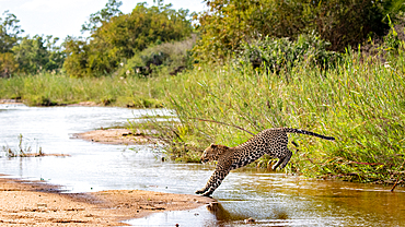 A leopard, Panthera pardus, jumps over a river, Londolozi Game Reserve, South Africa