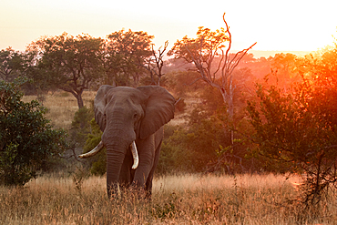 An elephant, Loxodonta africana, walks through a grassy clearing at sunset, Londolozi Game Reserve, South Africa