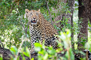 A leopard, Panthera pardus, sits on a log and looks up, surrounded by greenery, Londolozi Game Reserve, South Africa