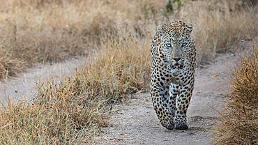 A male leopard, Panthera pardus, walks along a road track, direct gaze, Londolozi Game Reserve, South Africa