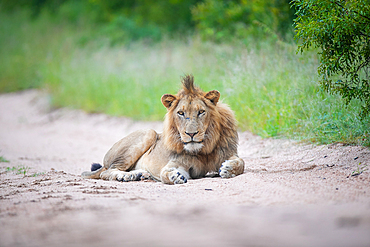 A young male lion, Panthera leo, lies on a sand road, direct gaze, Londolozi Game Reserve, South Africa