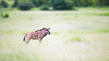 A wildebeest calf, Connochaetes taurinus, in grass, Londolozi Game Reserve, South Africa