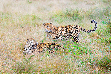 Two leopards, Panthera pardus, together in grass, one snarls, Londolozi Game Reserve, South Africa