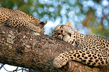 Two leopard, Panthera pardus, sleep on a branch of a tree, Londolozi Game Reserve, South Africa