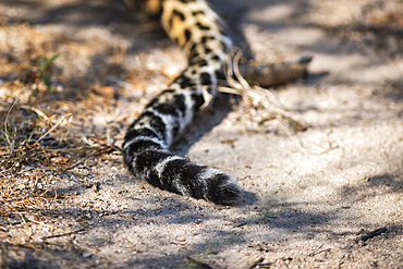 The tail of a leopard on the ground, Panthera pardus, Londolozi Game Reserve, South Africa