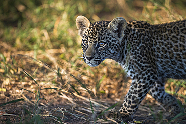 A leopard cub, Panthera pardus, walking and looking out of frame, Londolozi Game Reserve, South Africa