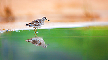 A wood sandpiper, Tringa glareola, stands in shallow water, Londolozi Game Reserve, South Africa