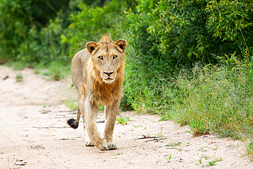 A young male lion, Panthera leo, walks on a sand road towards camera, Londolozi Game Reserve, South Africa