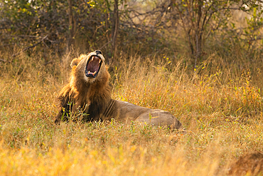 A male lion, Panthera leo, lies down and yawns, Londolozi Game Reserve, South Africa