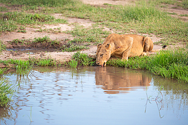 A female lion, Panthera leo, crouches down to drink from a waterhole, Londolozi Game Reserve, South Africa