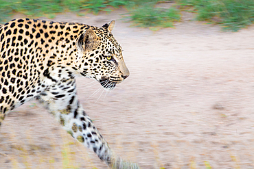 A leopard, Panthera pardus, walks on a dirt road, Londolozi Game Reserve, South Africa