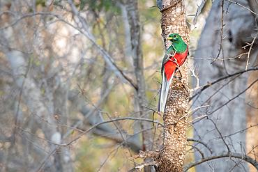 Narina Trogan, Apaloderma narina, sits on a branch, Londolozi Game Reserve, South Africa