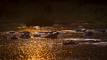 A pod of hippo, Hippopotamus amphibius submerged, sunlight on the water, Londolozi Game Reserve, South Africa